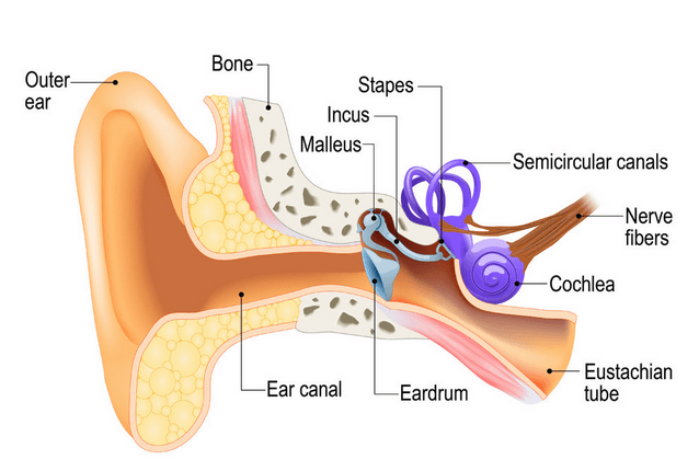 This image has an empty alt attribute; its file name is humanear-638x430-1.png